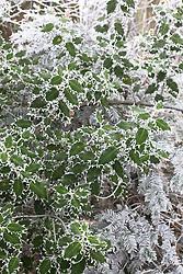 Hoar frost on Holly. Ilex aquifolium