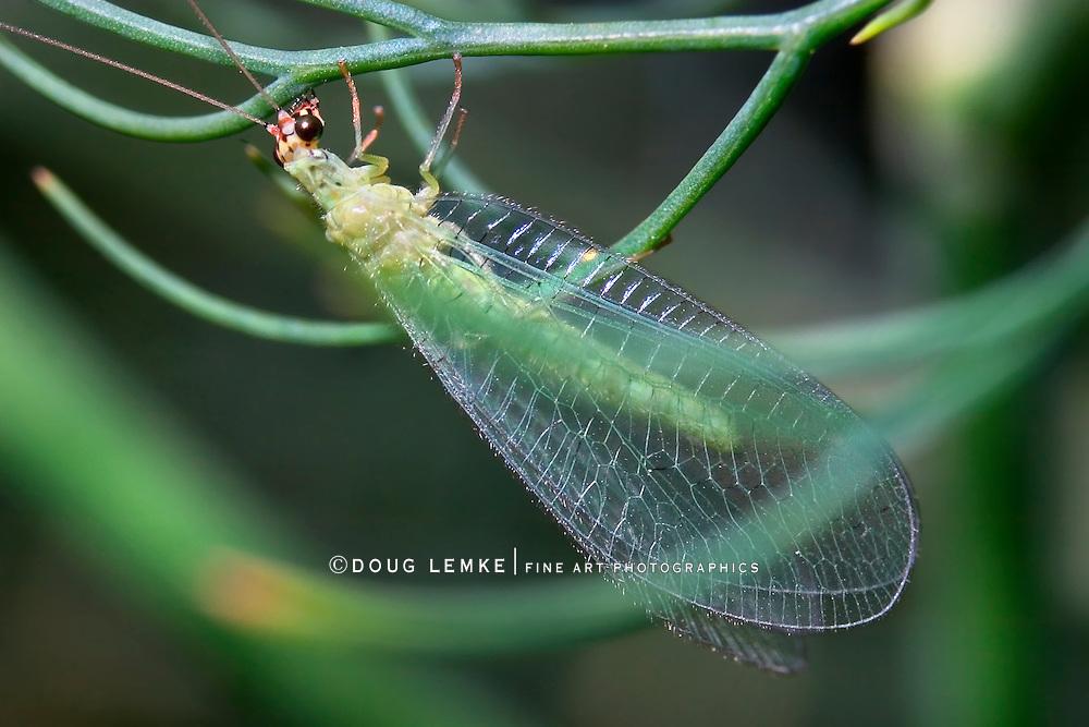 Borne On Gossamer Wings, Chrysoperla rufilabris, Green Lacewing,