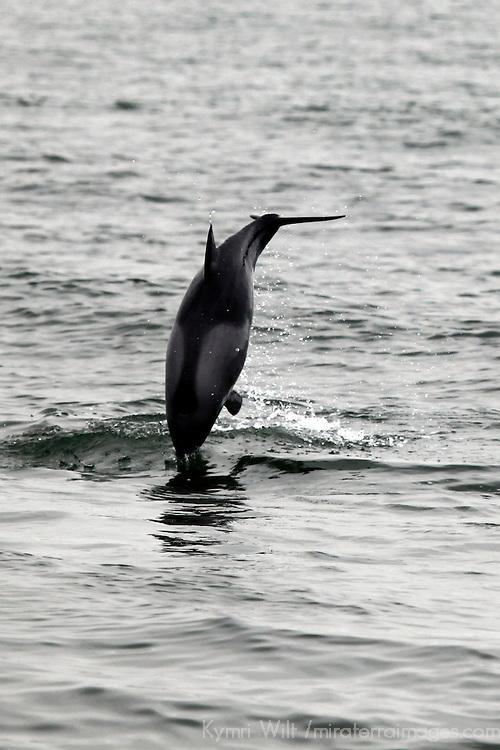 Africa, Namibia, Swakopmund. Leaping Haviside dolphin in Walvis Bay.