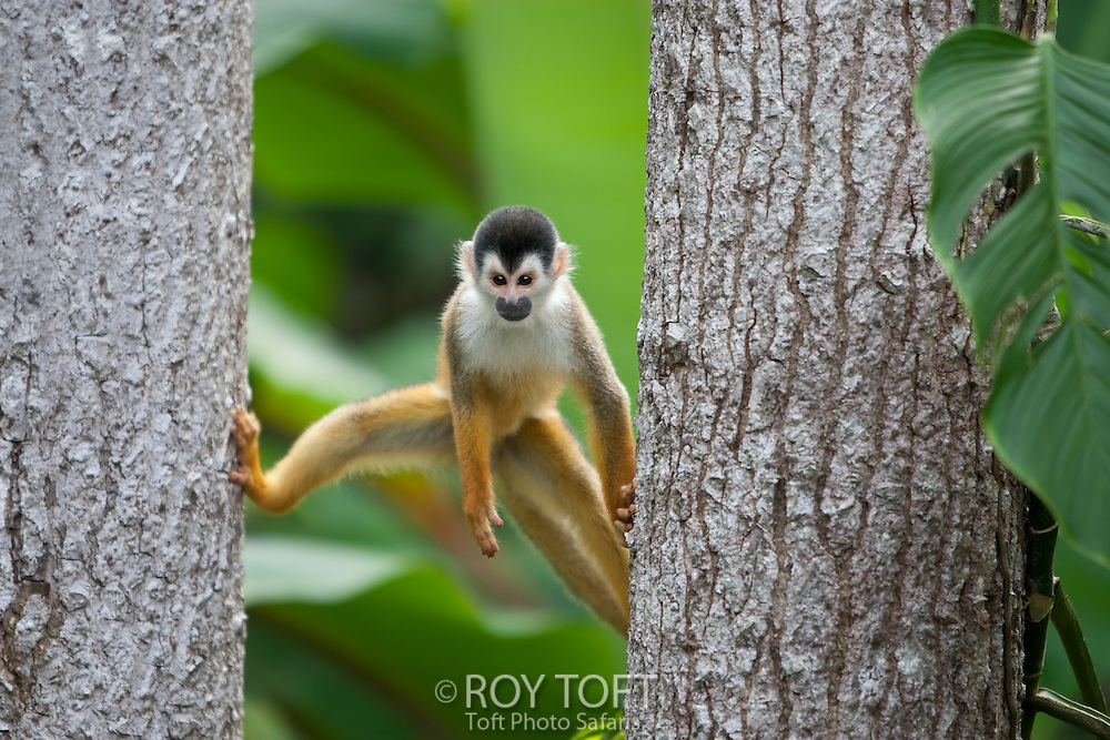 A cenral american squirrel monkey hanging on trees, Osa Peninsula, Costa Rica