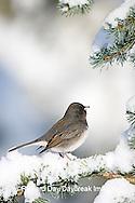 01569-014.04 Dark-eyed Junco (Junco hyemalis) on Blue Atlas Cedar (Cedrus atlantica 'Glauca') in winter, Marion Co.  IL