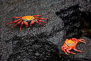 SAN CRISTOBAL, GALAPAGOS ISLANDS, ECUADOR: August 18, 2005 -- GALAPAGOS ISLANDS DAY 2  -- Colourful red rock crabs (Grapsus grapsus) dot the volcanic rock on San Cristobal island on Day 2 in the Galapagos Islands, Ecuador August 18, 2005...Steve McKinley Photo.
