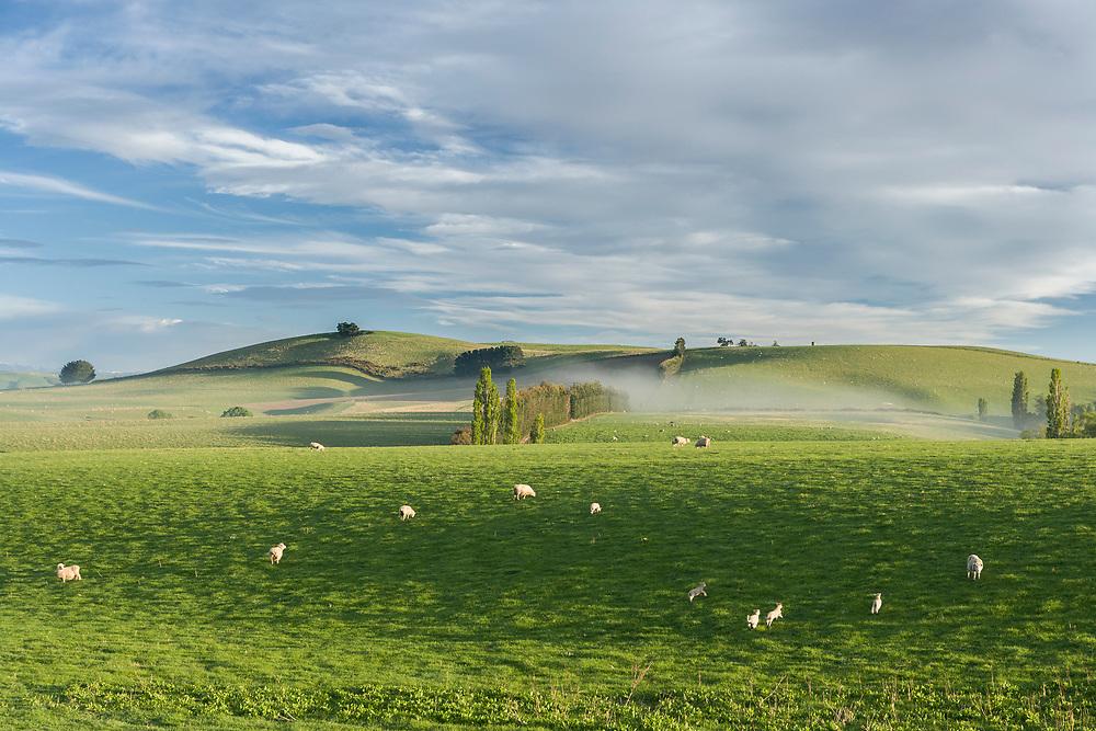 Sheep and lambs run through green grass on farmland near Oamaru, Otago, New Zealand.