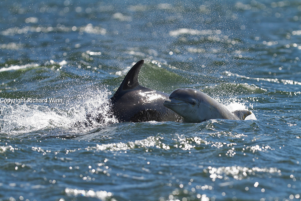 Bottlenose dolphin calf spyhopping while surfacing next to its mother in the Moray Firth at Chanonry Point, in harsh lighting conditions.