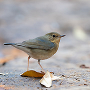 The Siberian blue robin (Larvivora cyane) is a small passerine bird that was formerly classified as a member of the thrush family, Turdidae, but is now more generally considered to belong to the Old World flycatcher family, Muscicapidae. It and similar small European species are often called chats.