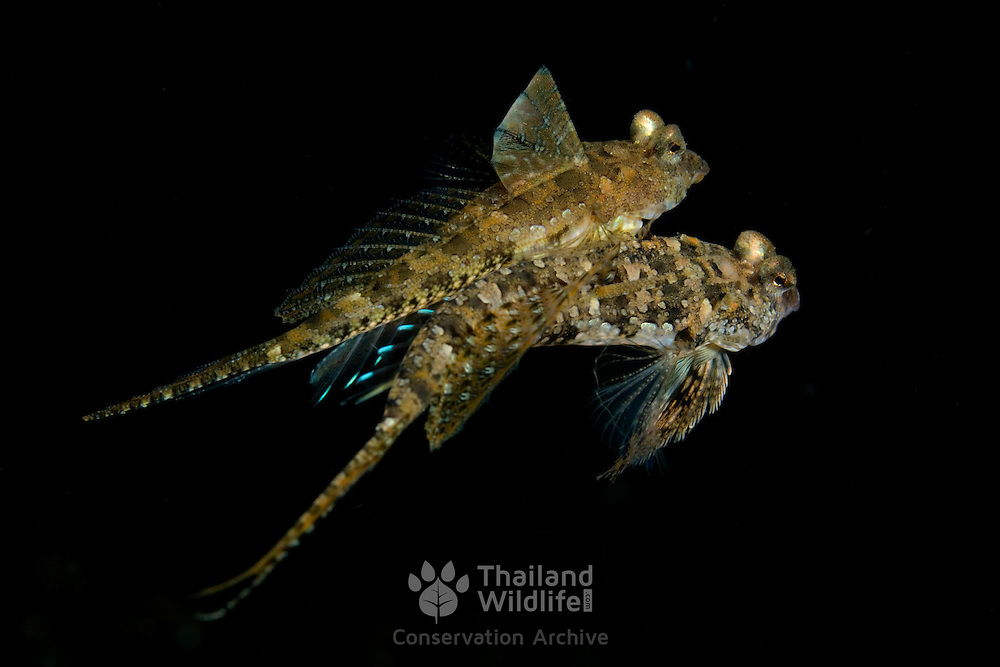 Ocellated Dragonets mating Synchiropus ocellatus. at Lembeh Straits, Indonesia.