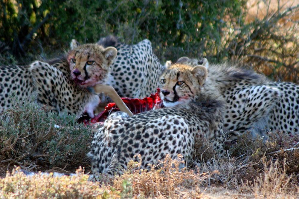 Africa, South Africa, Kwandwe. A mother cheetah and her four cubs devour an impala at Kwandwe Game Reserve.