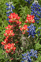 Bluebonnets and Indian Paint Brush, Blanco County