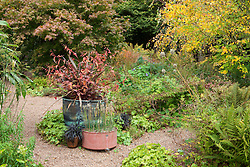 Containers at Glebe Cottage in autumn with Phormium tenax 'Purpureum Group', Persicaria microcephala 'Red Dragon' and Ophiopogon planiscapus 'Nigrescens' . Copper pot