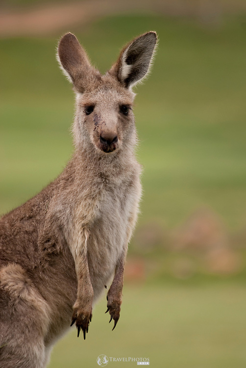Eastern grey kangaroos on the Gold Creek Golf Course, in Canberra, Australia