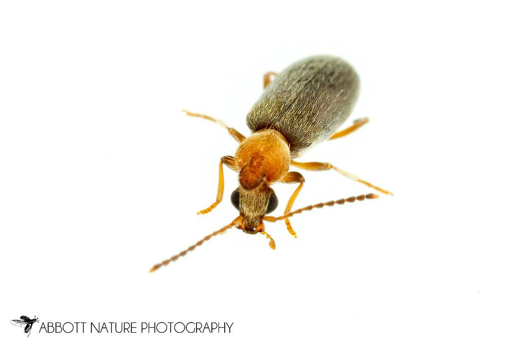 Monoceros Beetle (Notoxus murinipennis)<br /> United States: Alabama: Tuscaloosa Co.<br /> Tulip Tree Springs off Echola Rd.; Elrod<br /> 16-May-2017<br /> J.C. Abbott #2947