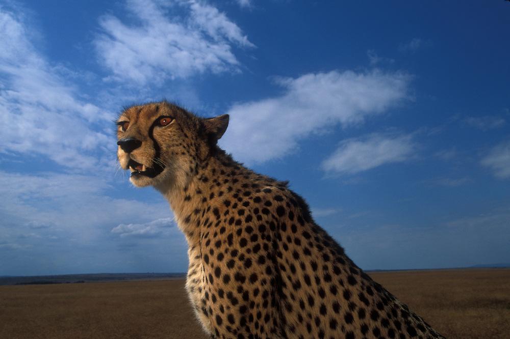 Africa, Kenya, Masai Mara Game Reserve, Flash image of Adult Female Cheetah (Acinonyx jubatas) resting above savanna
