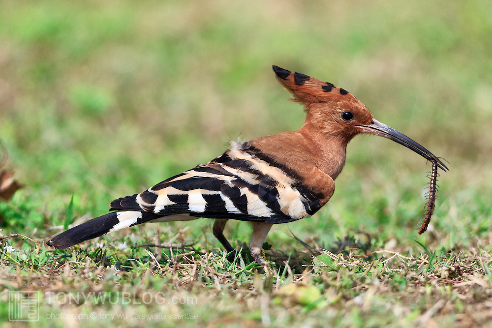 Hoopoe bird (Upupa epops ceylonensis) that just caught a centipede.