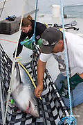 Emmerson Simpson, of Sharks Unlimited, and Pamela Emery, of the Canadian Shark Conservation Society, measure a porbeagle shark, Lamna nasus, which will be tagged and released for research, New Brunswick, Canada ( Bay of Fundy )