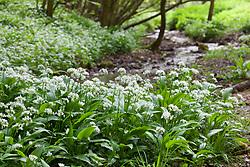 Wild Garlic growing by a stream in a woodland in Gloucestershire. Ramsons. Allium ursinum