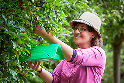 Putting up a codling moth trap in an apple tree