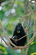 Celebes Crested Macaque (Macaca nigra) | Ein junger Schopfmakake frisst eine Mango.