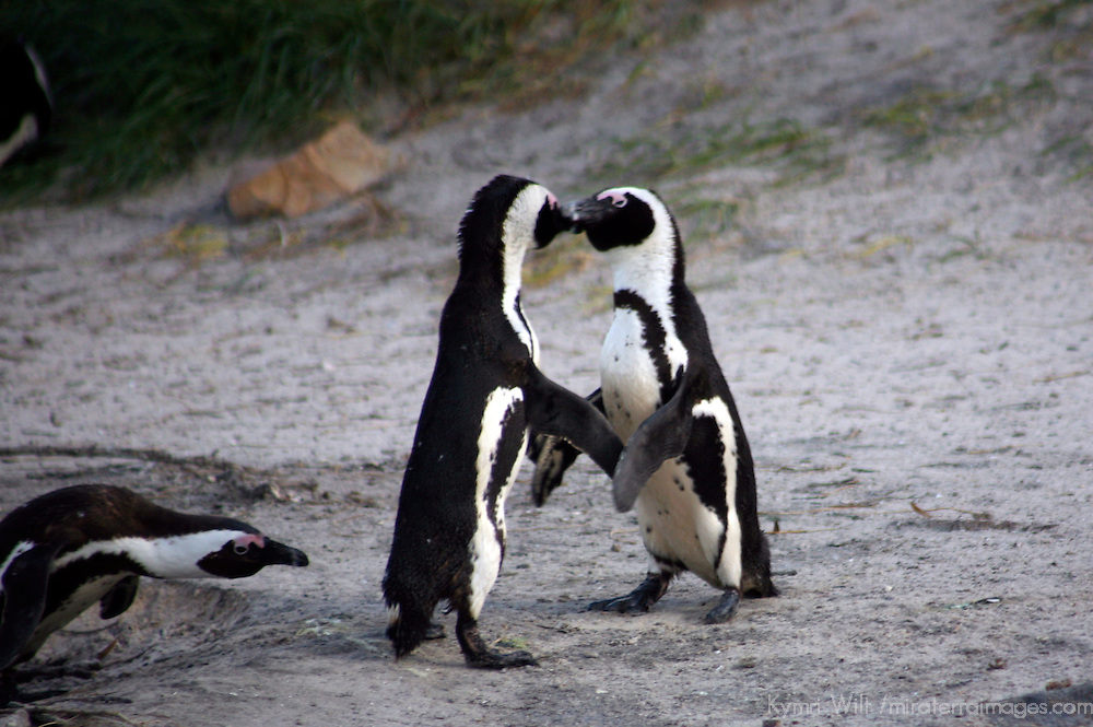 Africa, South Africa, Simons Town, Boulders Beach. African Penguin couple shares a kiss at Boulders Beach near Simons Town on False Bay.