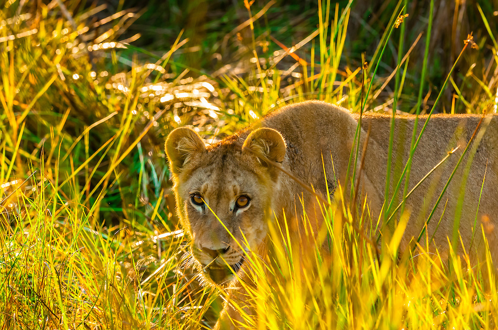 Female lion walking through the bush, Kwara Camp, Okavango Delta, Botswana.