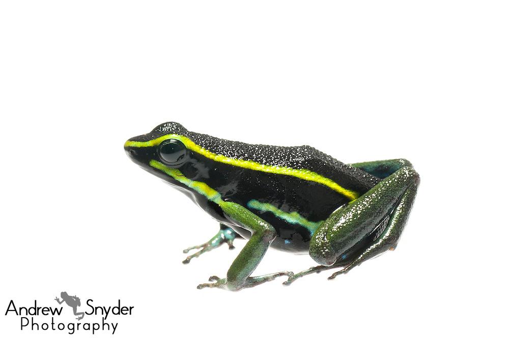 Three striped poison frog (Ameerega trivittatus) - Kanuku Mountains, Guyana.
