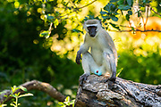 Vervet monkey (Chlorocebus pygerythrus). These monkeys are native to Africa. They are found mostly throughout Southern Africa, as well as some of the eastern countries. Photographed on the banks of the Zambezi River, Zimbabwe