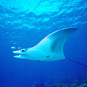 Caribbean Manta Ray inhabit open water in the Tropical West Atlantic; picture taken Grand Cayman.