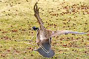 Canada Goose - Branta canadensis flying in for a landing looking at it from the rear