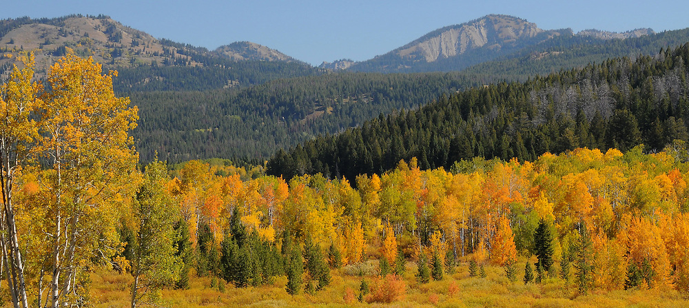 Hundreds of aspen at the peak of fall color fill this meadow on the way to Two Ocean Lake in Grand Teton National Park.