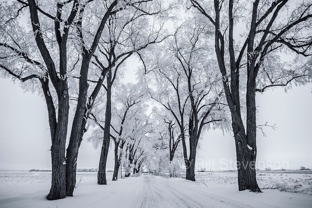 Frost covered cottonwood trees.