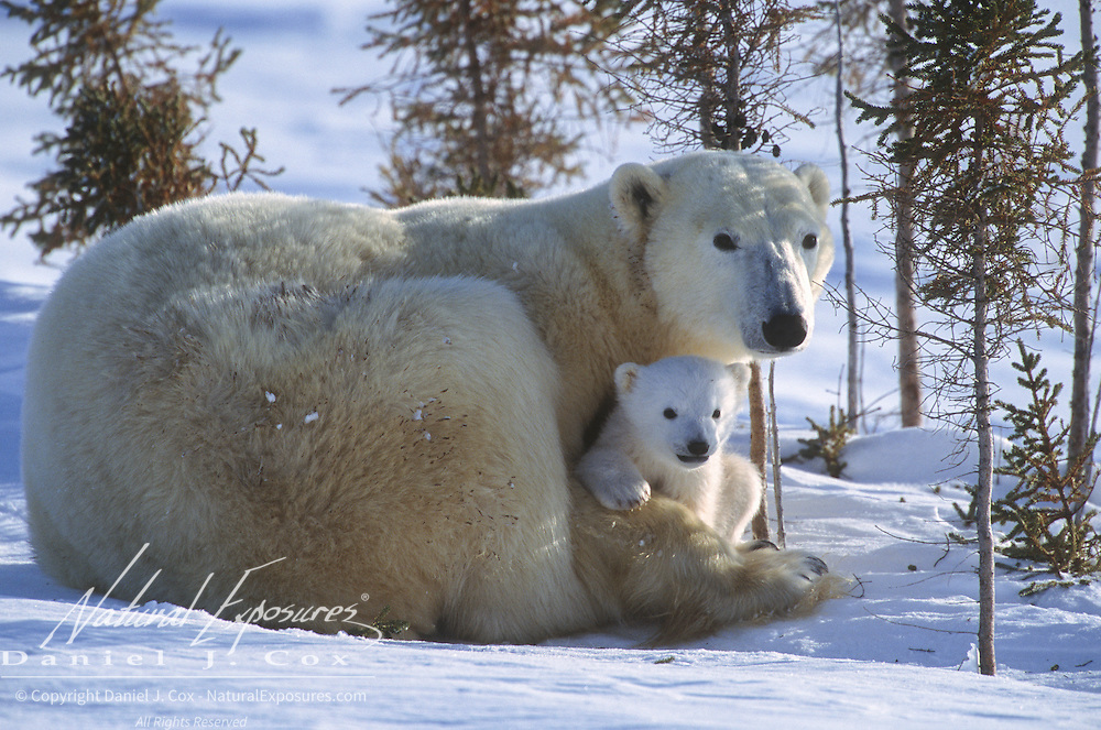 Polar bear mother with a very young cub just leaving their winter den. Churchill, Manitoba, Canada
