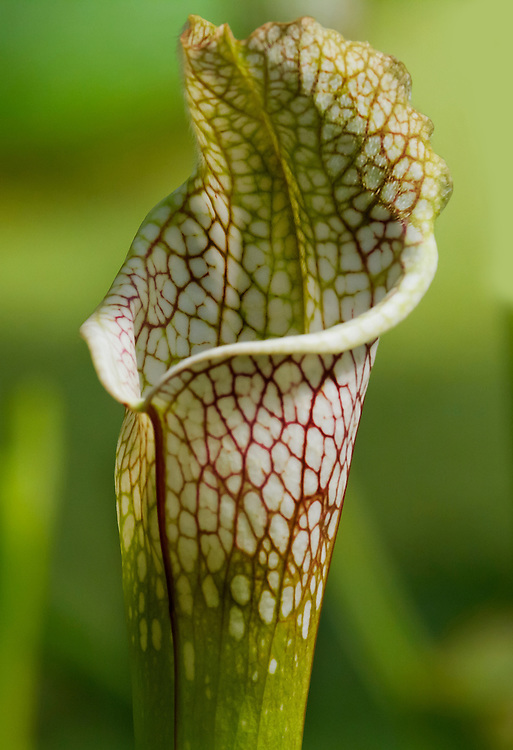 A pitcher plant. They devour small bugs that become trapped inside them.
