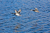 Mallard Ducks (Anas platyrhynochos) male anad female in flight.
