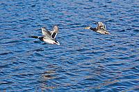Mallard Ducks (Anas platyrhynochos) male anad female in flight.