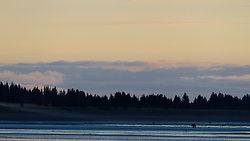 North American brown bear /  coastal grizzly bear (Ursus arctos horribilis) sow walking along the beach at sunrise, Lake Clark National Park, Alaska, United States of America