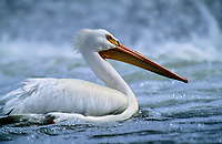 American White Pelican (Pelecanus erythrorhynchos) swimming on the Bow River, Carsland Provincial Park, Alberta, Canada - Photo: Peter Llewellyn