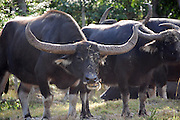 This is a photograph of water buffaloes.