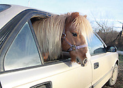 """Dec 03, 2010 - Osage City, Kansas, U.S. - EXCLUSIVE<br /> Miniature Horse that was an Internet sensation Gets his First Photo Shoot<br /> JERRY MILLER turns head when he takes his family out for a spin in their Toyota. That's because the family includes Rascal, a miniature horse, which rides in the back seat.<br /> Jerry and Rascal became an internet sensation after a family filmed them driving along the highway between Osage City and Topeka, Kansas, with Rascal's head sticking out of the side window, his forelock blowing in the wind. The 26-second clip features the Potter family – Rick, his wife Mandi, and children Jade, 8, and Riley, 6, and a friend – passing a small brown four-door on U.S. Highway 75 near the Carbondale exit on Nov. 6.  'I cut hair for a living,' says Rick, who runs Potters Barber Shop in Osage City,  'And I look at that hair coming out of the car, and I said """"Gosh, that's a lot of hair"""". After rolling up on the car for the first time, Rick slowed down to point out the self-described phenomenon to the passengers in his car. Mandi Potter shouts, """"Smile, horsey,"""" as the miniature horse turns his head to look at the car. """"There's a horse in the car,"""" they all shout in unison just before the video ends. Rascal, is billed as 'the smartest horse in the world' by his showman owner, Miller, who drives the 15-year-old all over Kansas in his car from their base in Pomona Lake to show off the horse's arsenal of 40 tricks.<br /> © Jeremy Gaston/Exclusivepix"""