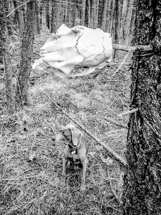 Sugar looking at a deer skull found on a branch in a tree
