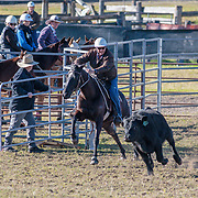 Dungog Campdraft, Dungog, New South Wales, Australia