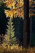 Western larch and a spruce along the Yaak River in fall. Yaak Valley Montana