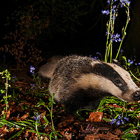 Badger, Wytham woods, Oxfordshire, UK.