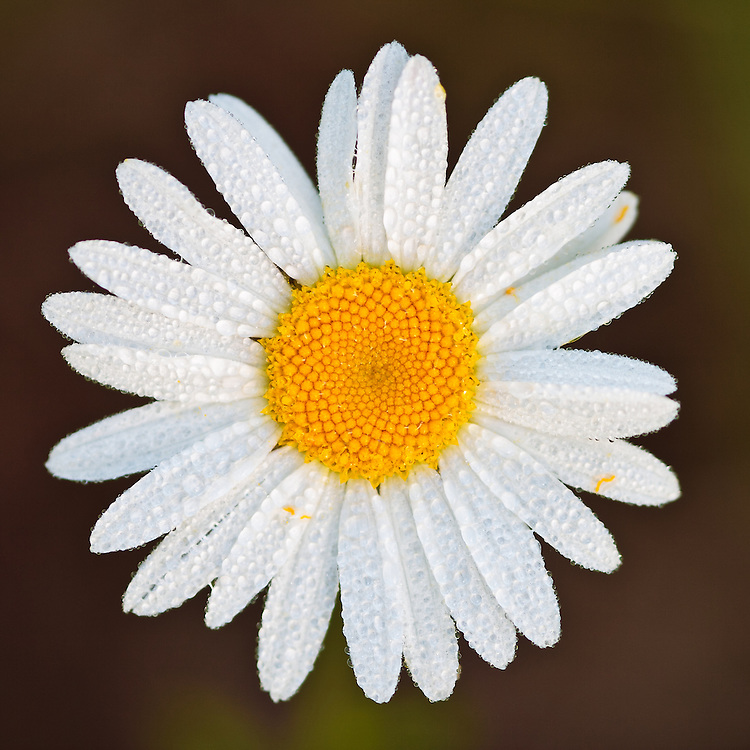 Close-up of a dew covered ox-eye daisy (Leucanthemum vulgare) growing near Mirror Lake, Canaan Valley, Davis, West Virginia.