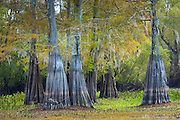 Bald cypress trees deciduous conifer, Taxodium distichum, showing high water marks  in Atchafalaya Swamp, Louisiana USA