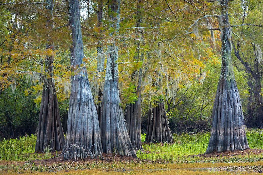 Bald cypress trees deciduous conifer, Taxodium distichum, showing high water marks  in Atchafalaya Swamp, Louisiana USA