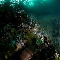 Edible crab, Cancer pagurus<br /> Atlantic marine life, Saltstraumen, Bod&ouml;, Norway