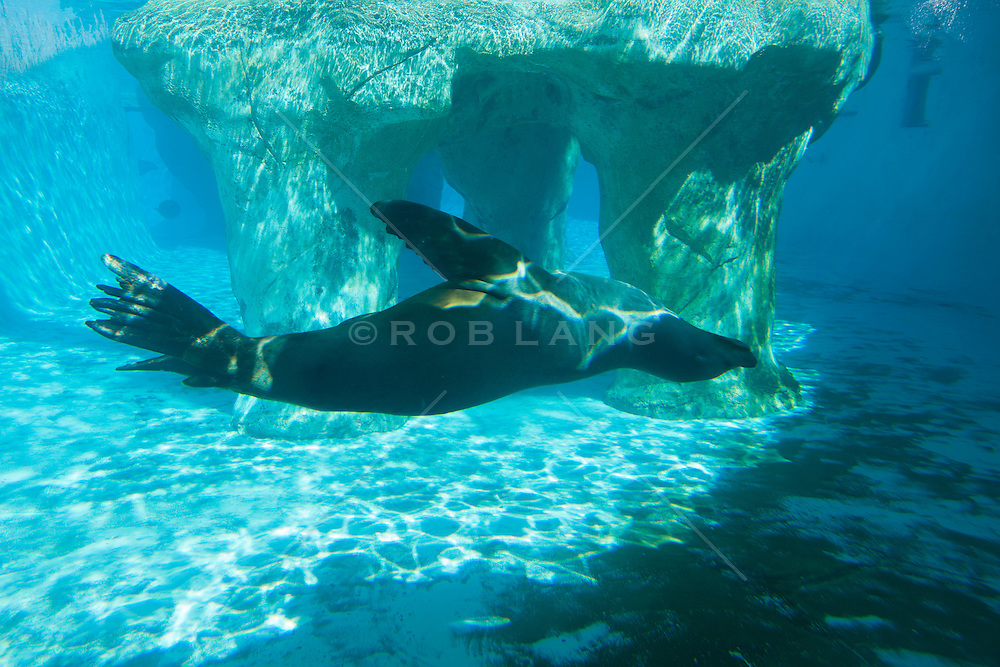 sea lion swimming upside down in an aquarium tank