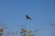 Hummingbird, Bolsa Chica Ecological Reserve, Orange County, California, USA