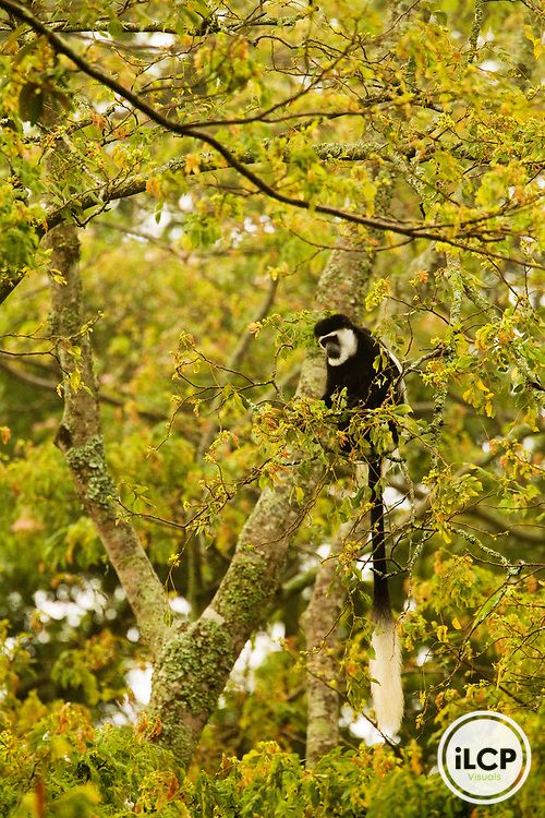Mantled Colobus (Colobus guereza) in rainforest tree, Kibale National Park, western Uganda