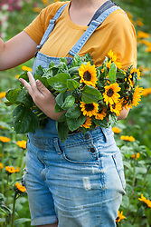 Picked bunch of sunflowers - Helianthus annuus 'Sonja'
