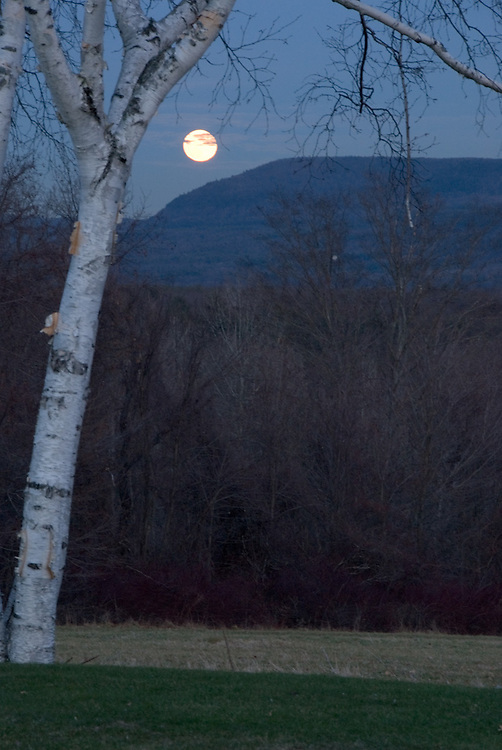 Birch with Moon Rising